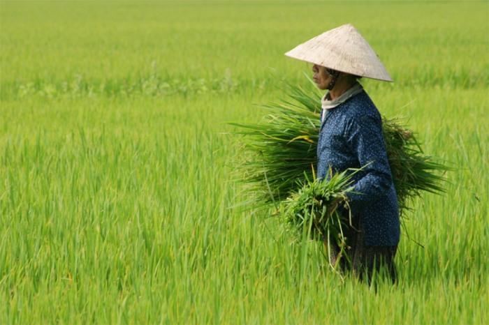 Woman Rice Field